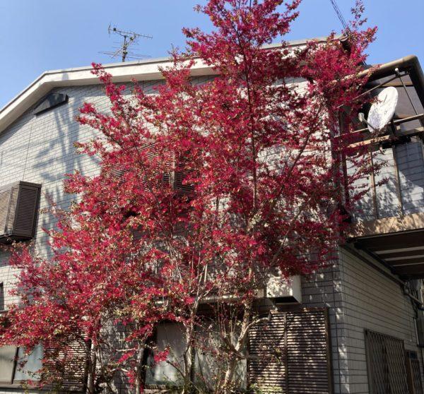 トキワマンサクの木